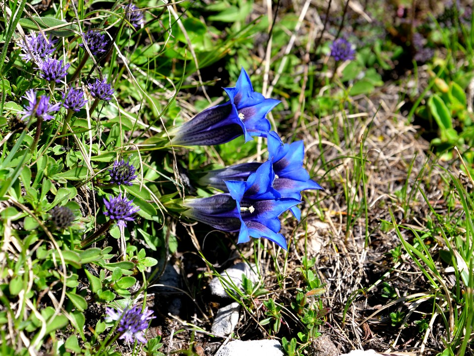 Gentians beside the path