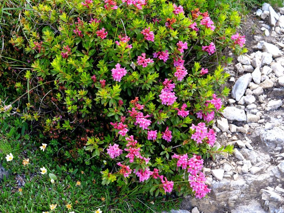 Soon scattered mountain azaleas appear