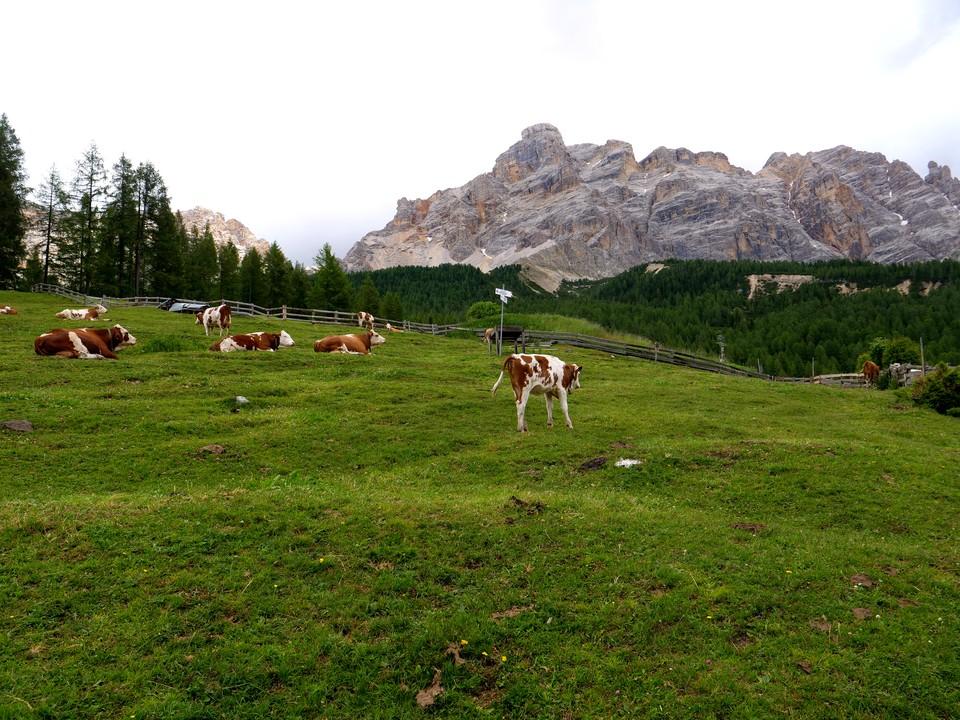 Cattle grazing an alpine meadow