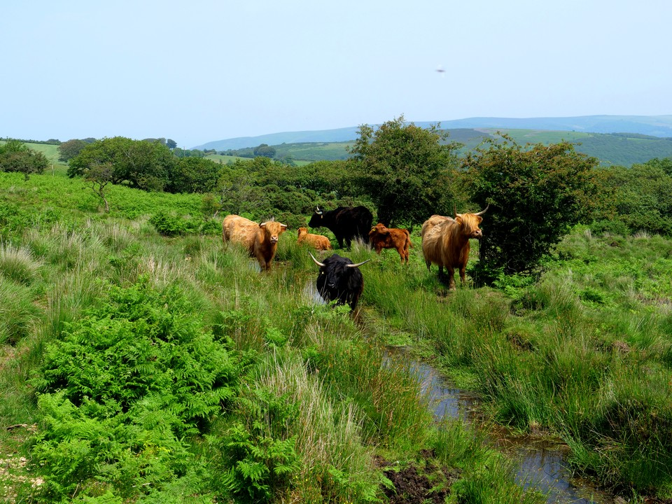 Then down past the springs to Dady Combe, and these magnificant Highland cattle