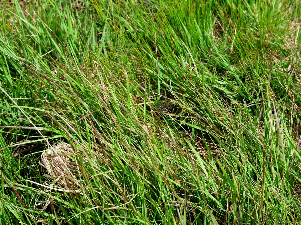 A snake well hidden in the grass - an adder