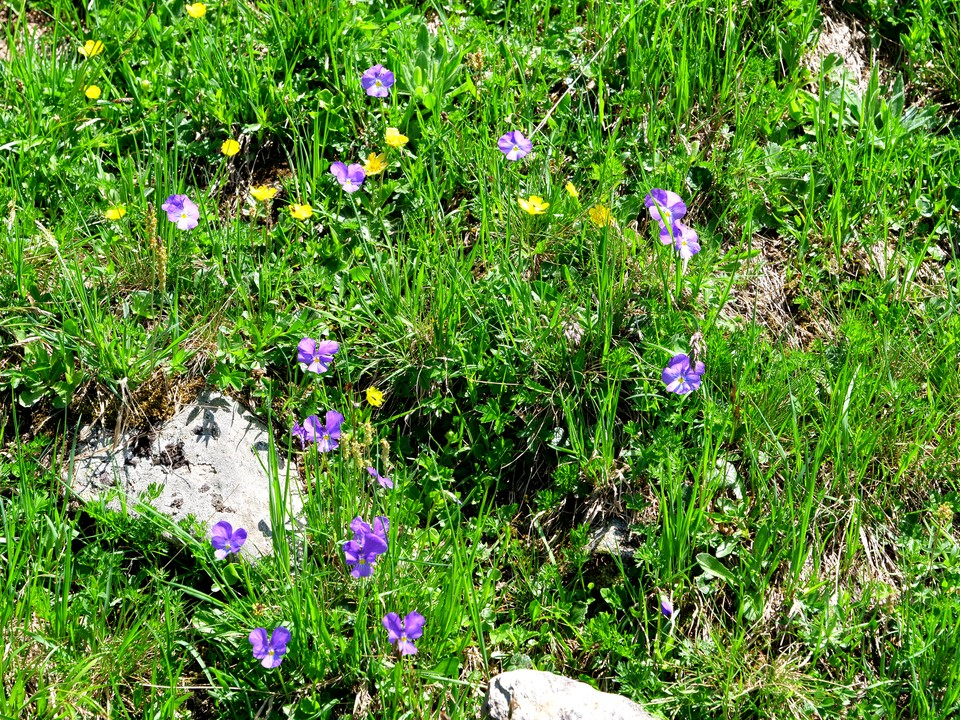 Alpine pansies in the grass