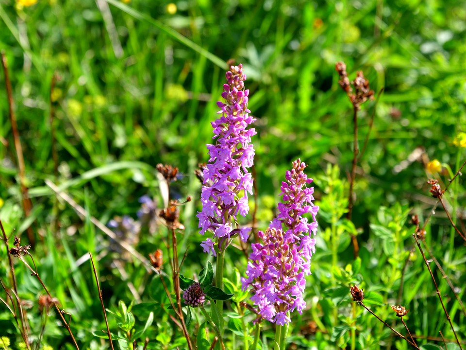 Orchids in the alpine meadows