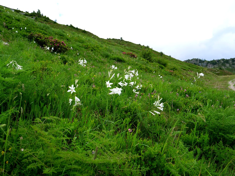 The slopes were covered with white lillies