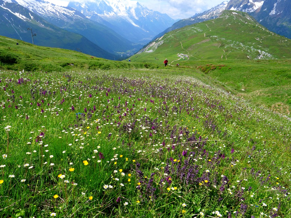 Drifts of alpine flowers