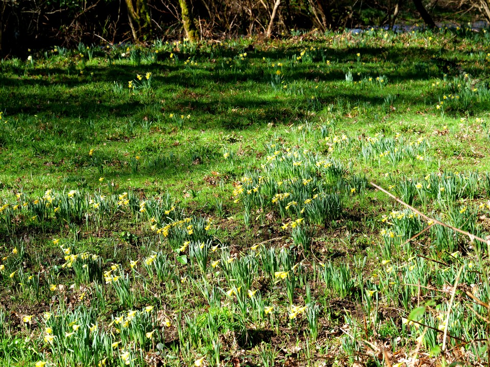 Wild daffodils in the valley bottom beside the River Teign