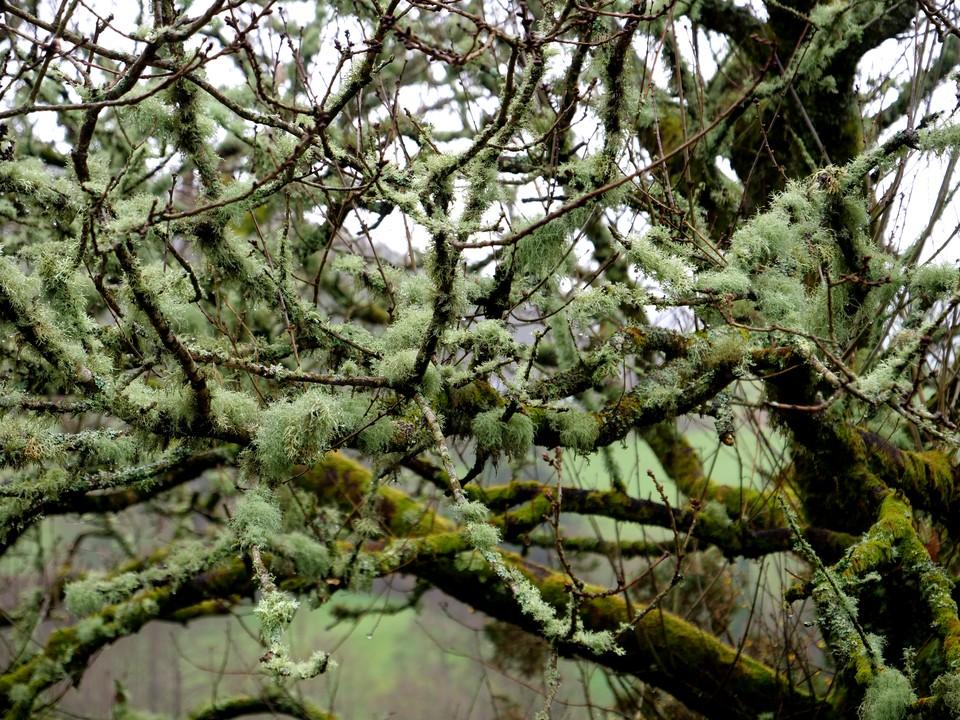 Lichen drapes the trees