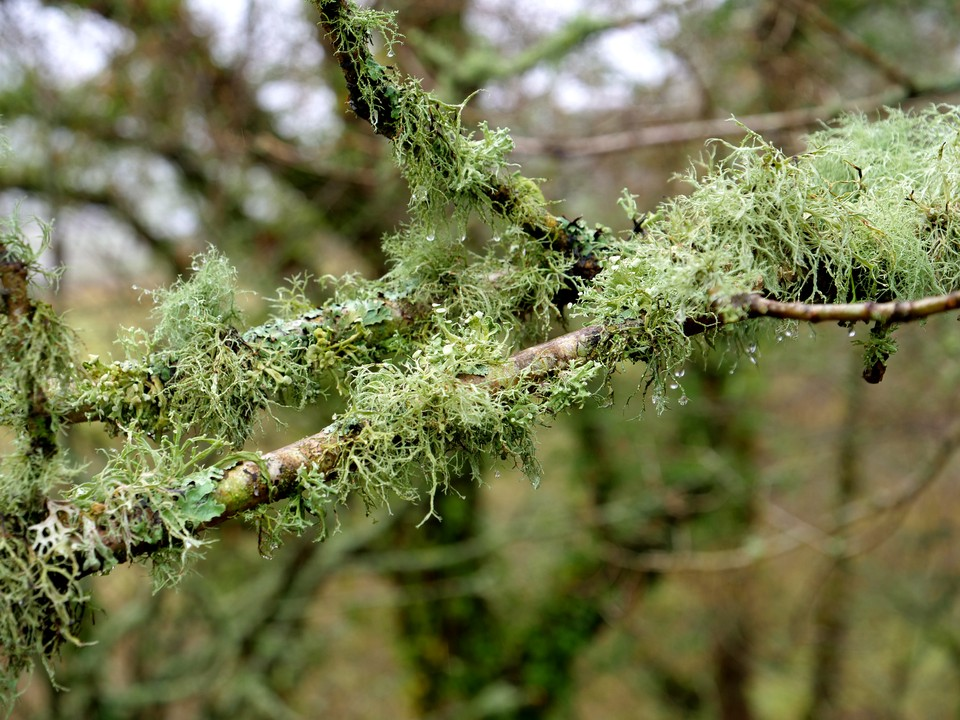 Lichen on trees. The clean air and sheltered valley suits the lichen