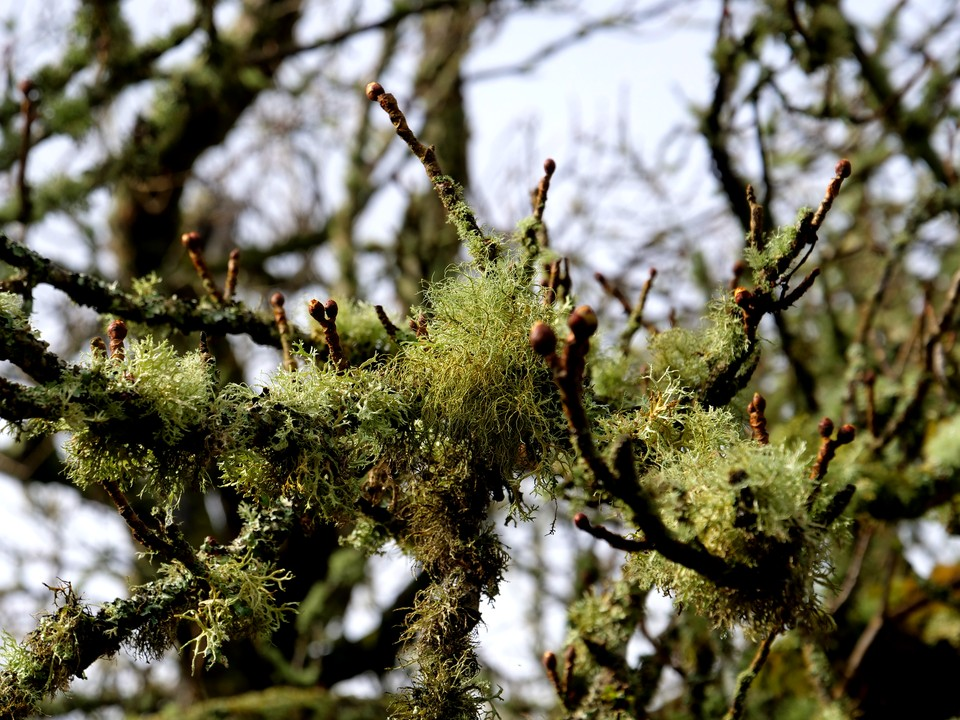 Lichen on trees