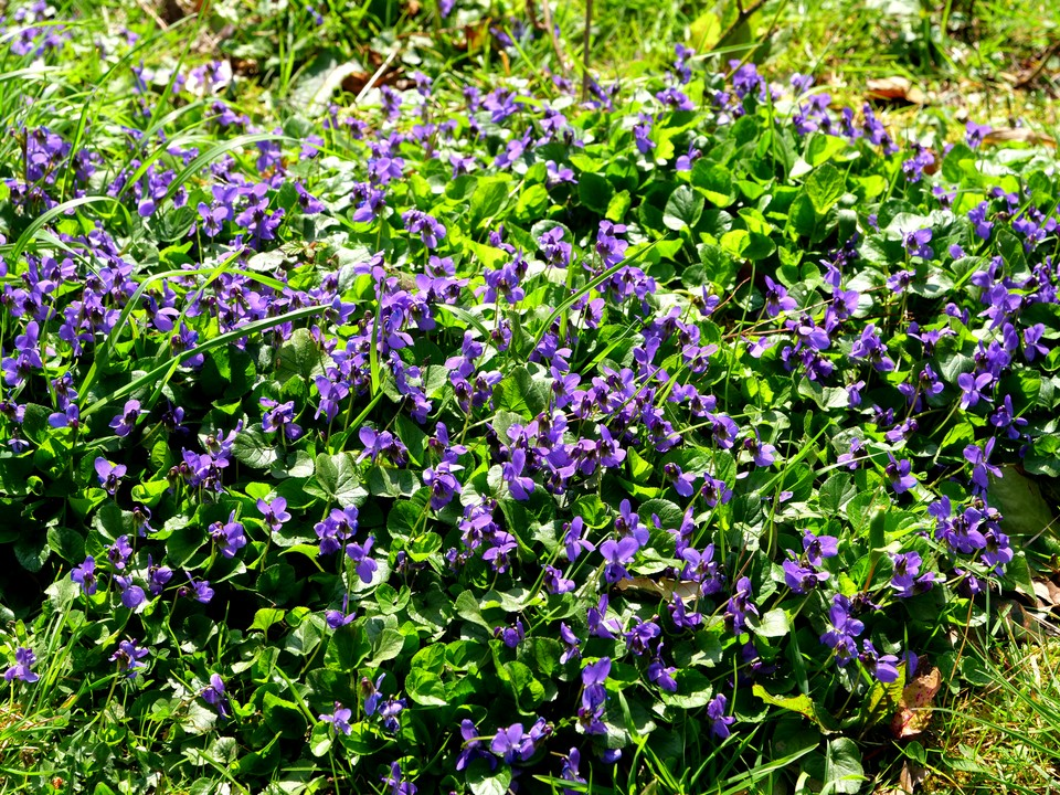 patches of violets on the cliff