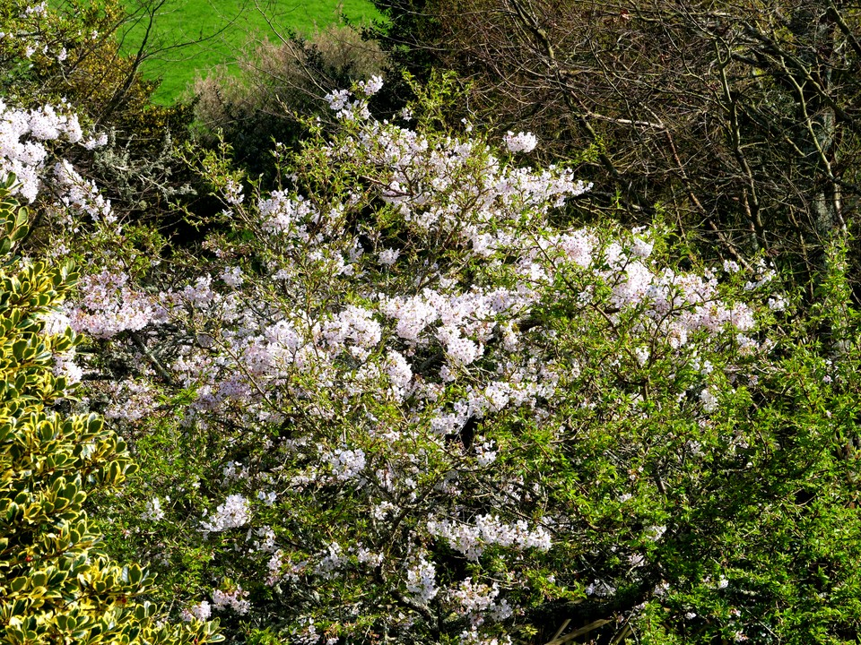 Cherry trees in full bloom