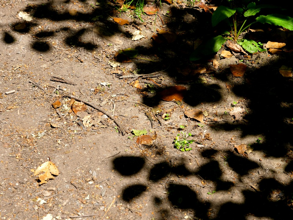 A common lizard crossing the path