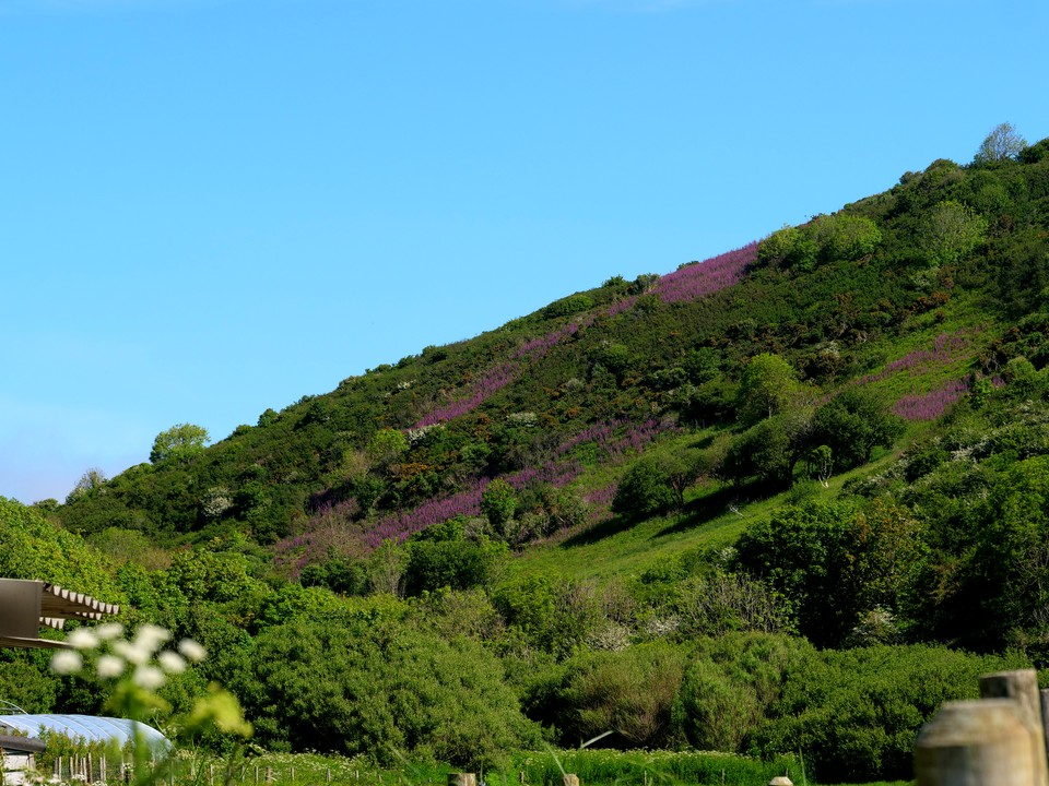 Foxgloves cover the steep slopes above Lannacombe