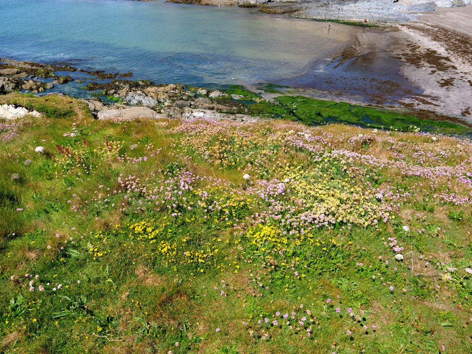 Flowers on the slope at Ayrmer cove