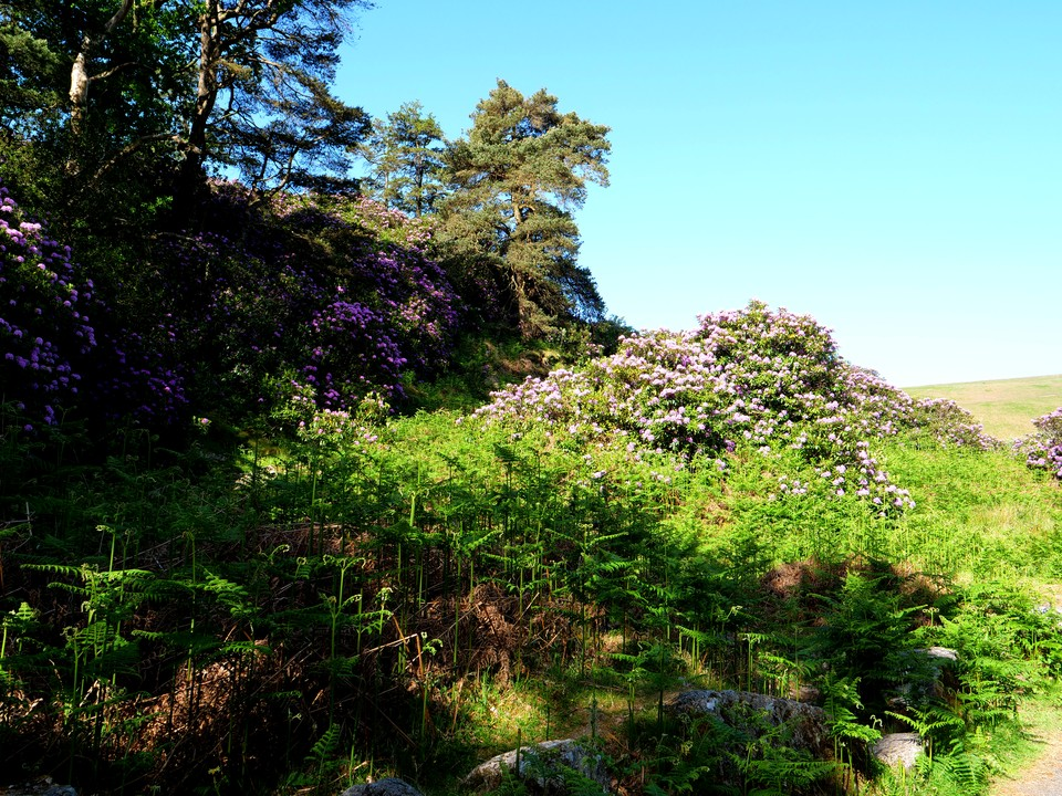 Rhododendrons in full bloom in the Avon valley