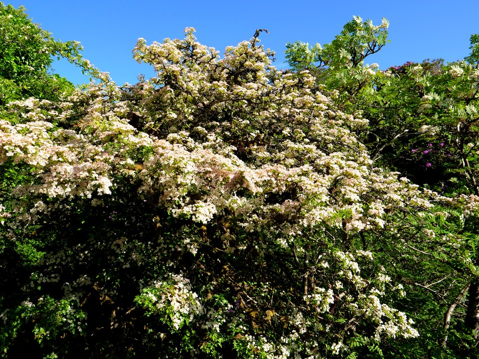 Hawthorn in full bloom in the Avon valley
