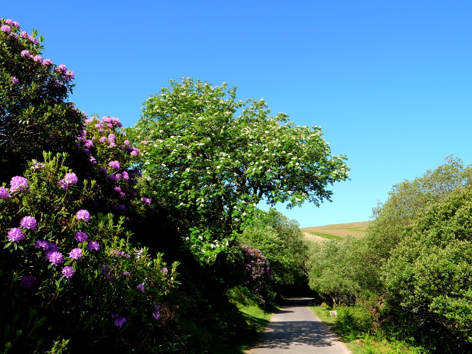 Rhododendrons and Rowan in full bloom in the Avon valley