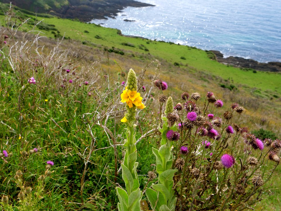 Mullein and Thistles