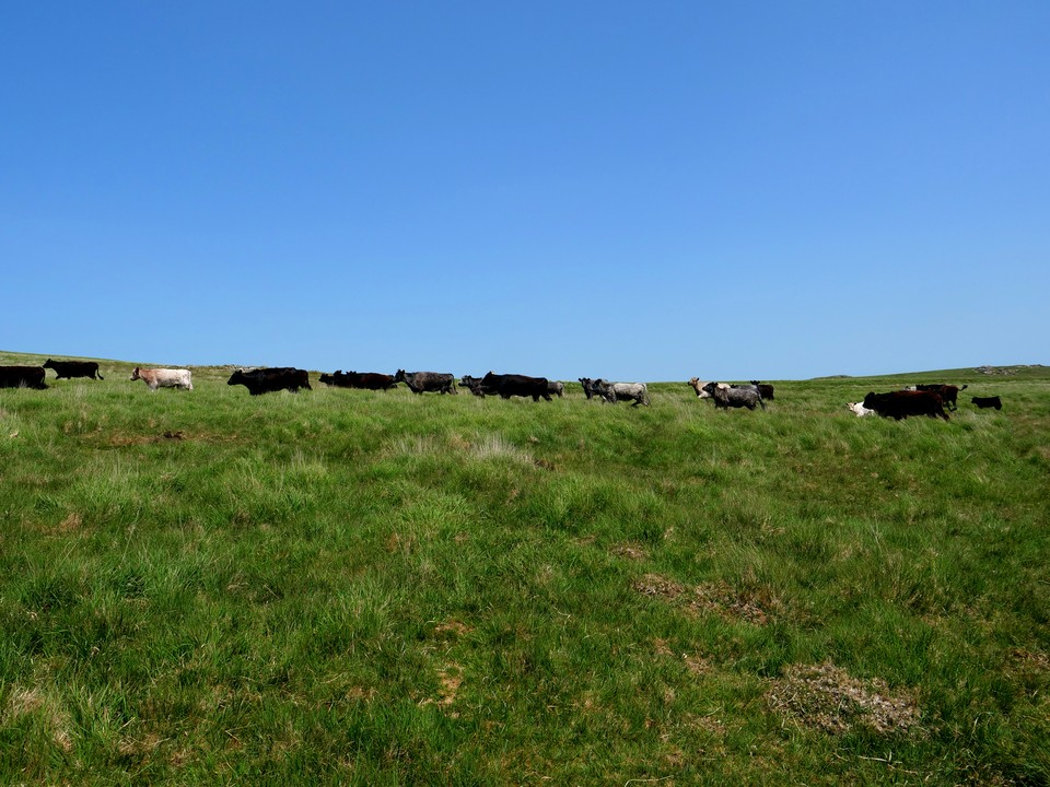 Lots of cattle grazing here
