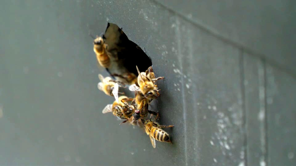 Several frames of the same incident where the fly remains on the abdomen of the bee