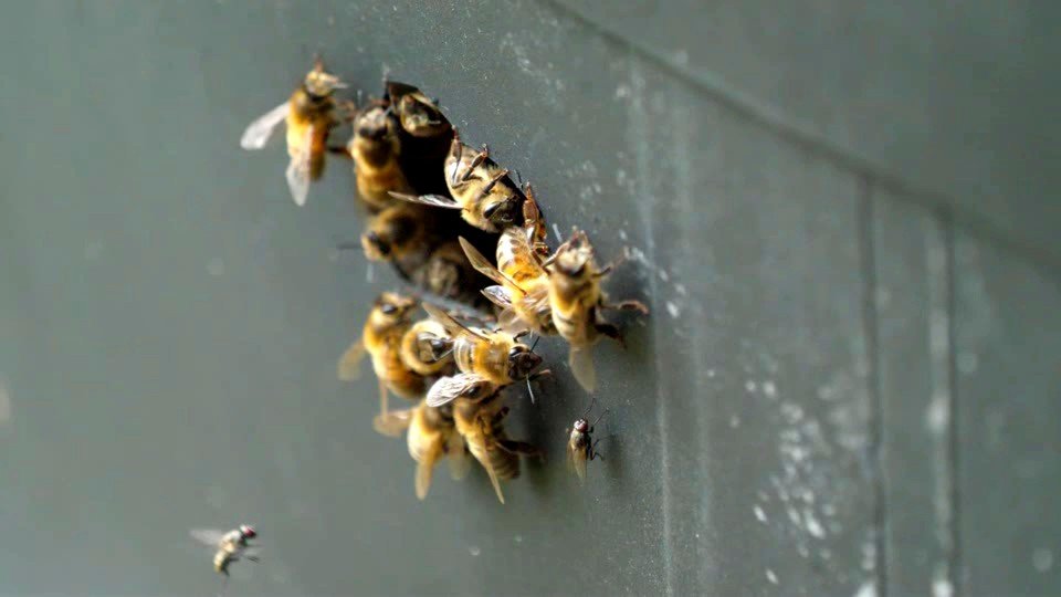 One fly lands on hive and remains there for a time