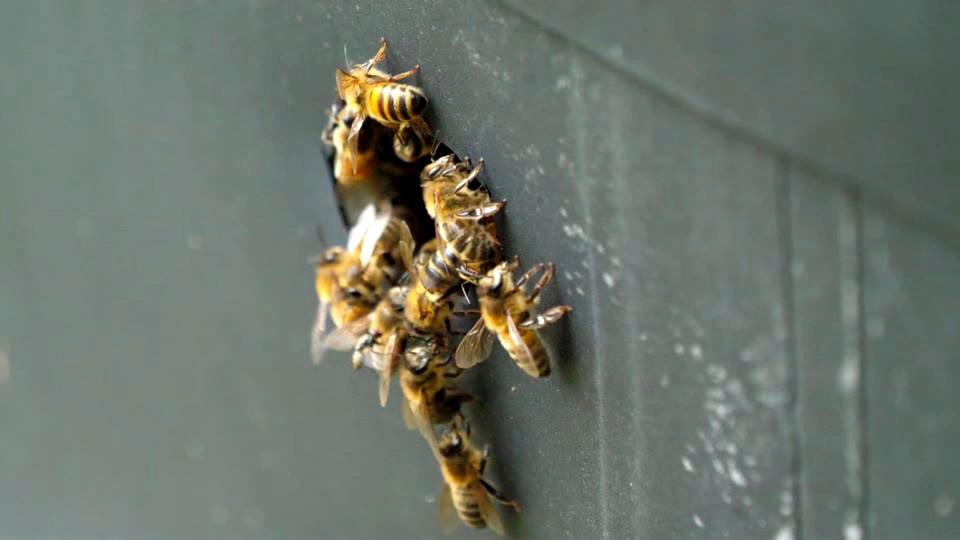 Fly on abdomen of bee