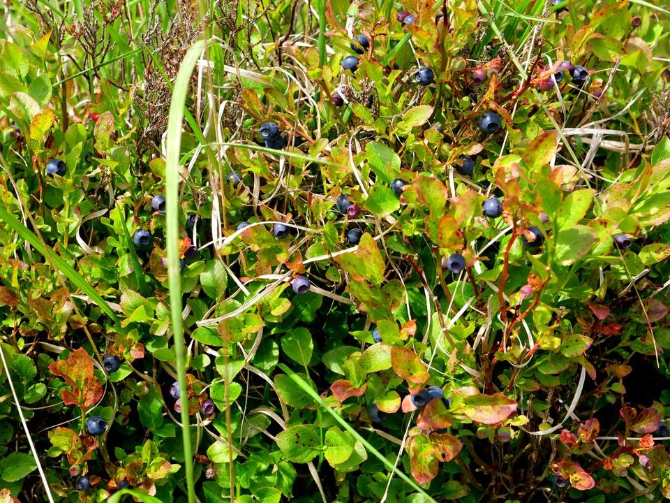 Vaccinium myrtillus - Bilberry, Blaeberry, Whortleberry, Whinberry, Windberry, Myrtle Berry. Ripe and ready to eat.