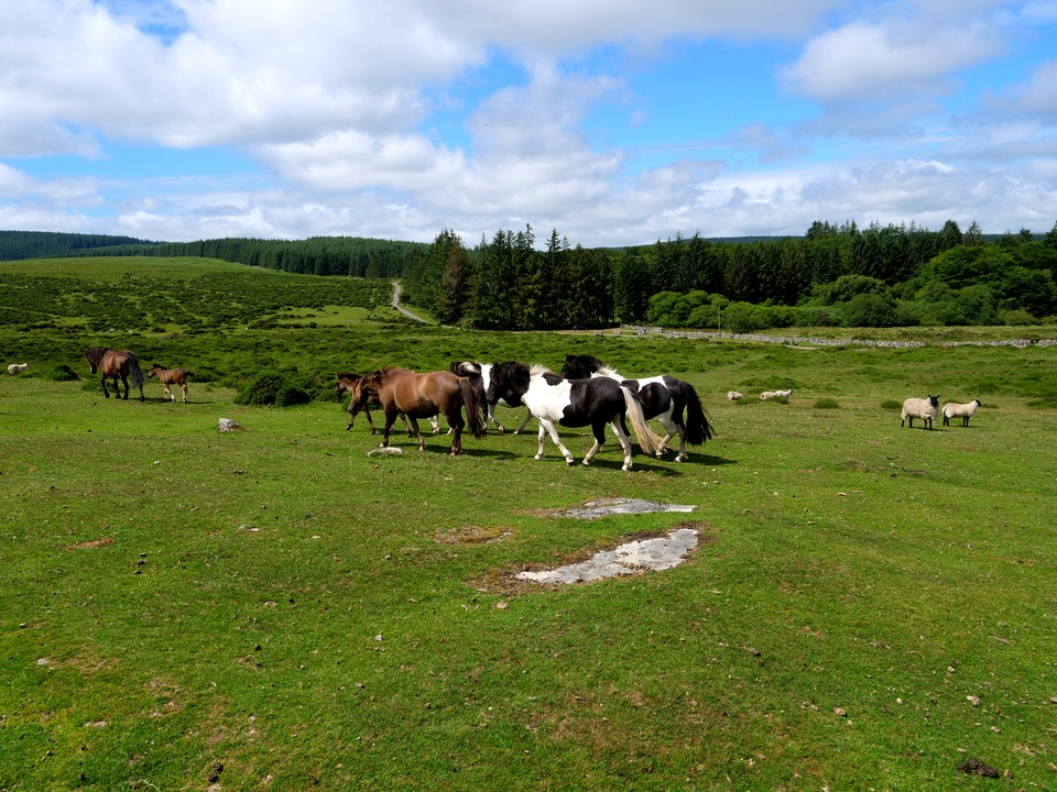 Ponies and foals, Chagford Common