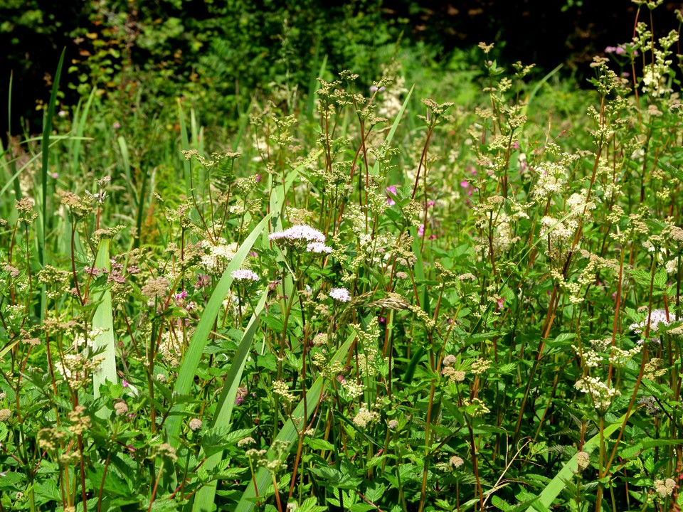 Filipendula ulmariameadowsweet, andValeriana officinalis Common Valerian