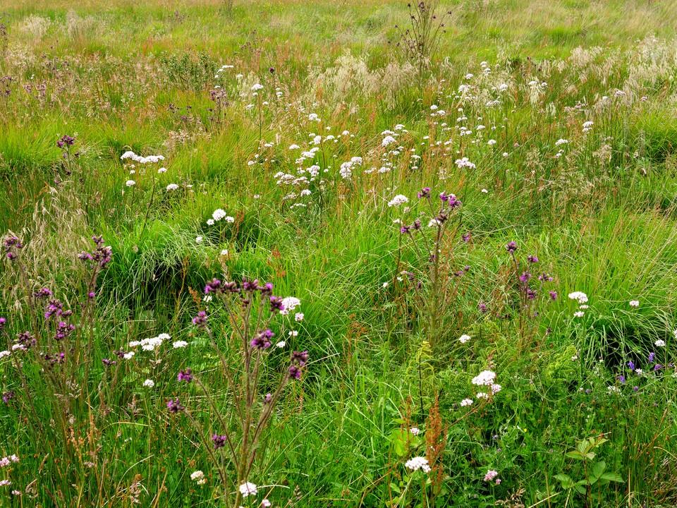Wild flowers in a wetland area