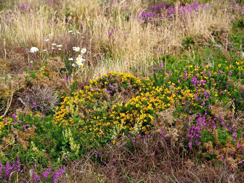 Heather and Gorse in bloom
