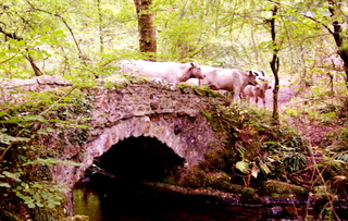 2006-09-27-11-15-02_cattle-on-bridge-p1000094_bovey-bridges.jpg  bovey bridges