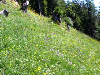 2009-06-18-10-26-58_p1060486_niederau-oberau-austria-walking-flowers-schatzbergalm-thalerkogel-hosljoch-gratlspitz-thierbach-muhltal.jpg  Walking from Niederau in Austria Schatzbergalm Thalerkogel Hosljoch Gratlspitz Thierbach Muhltal. Pictures of alpine flowers and butterflies. GPS track