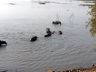2011-01-19-03-26-28_p1030851_nong-han-kumphawapi-lake.jpg  Buffalo swimming out to pastures in the Nong Han - Kumphawapi Lake
