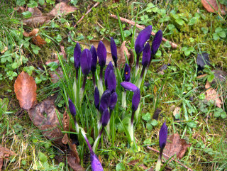 2013-02-11-11-57-19_p1090969_parke-to-lustleigh-in--february.jpg  A row of crocus, slightly battered by the weather.