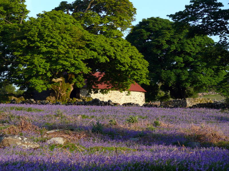 Holwell Bluebells Holwell Bluebells