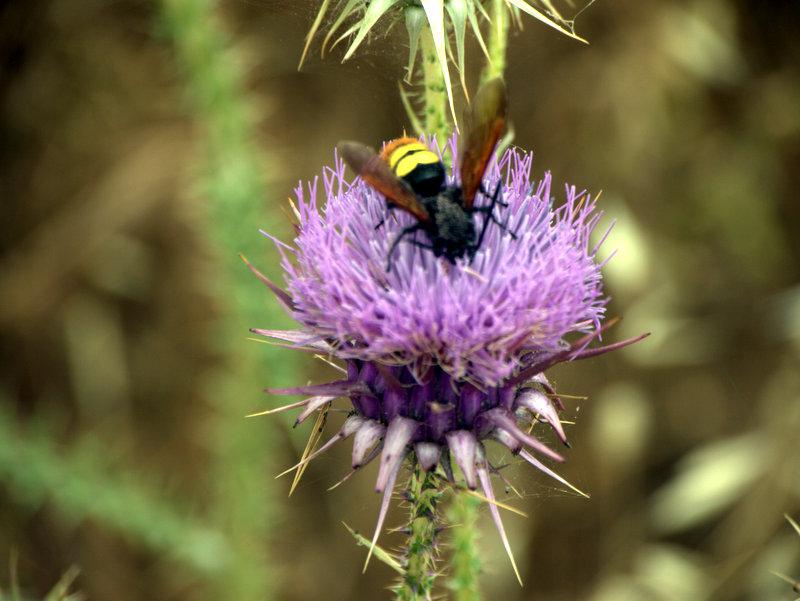 Thistle flower with large wasp, Alekhtora to Khapotami Gorge, Walking Cyprus.  Alekhtora Khapotami Gorge Kato Arkhimandrita 2010-04-30