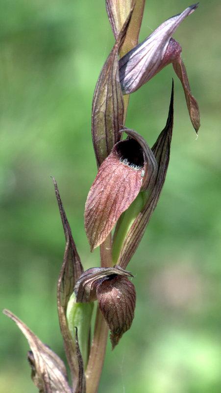 Serapias Orchid, Flowers in the Khapotami Gorge, Walking Cyprus.  Alekhtora Khapotami Gorge Kato Arkhimandrita 2010-04-30