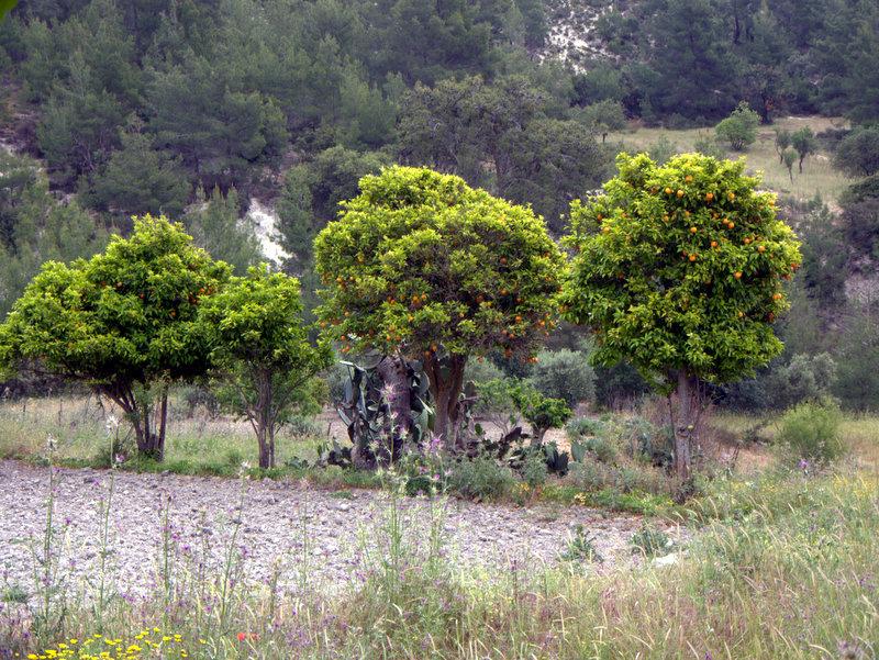 Orange grove Kato Archimandrita ruined village, walking Cyprus  Alekhtora Khapotami Gorge Kato Arkhimandrita 2010-04-30