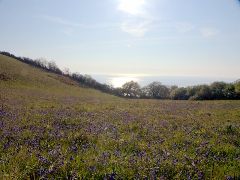 Sunrise and sea and bluebells at Babbacombe  Deer on Cliff Fields Maidencombe 2010-05-13