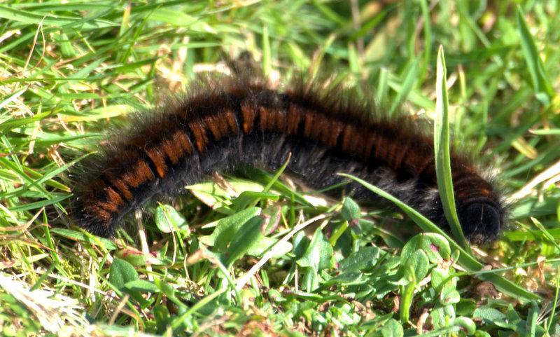 Moth Caterpillar.  Cross Furrzes Lud gate Skerraton Gate Shipley Tor Black Tor Avon Dam Abbots Way 2010-09-15