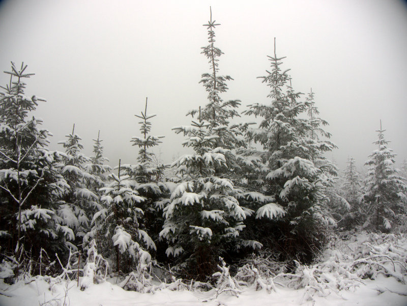 Christmas trees outlined in snow. Snow on Mamhead- Haldon Hill This could well end up as next year's Christmas card. All it needs is the robin. A winter wonderland as snow outlines every branch in the forest