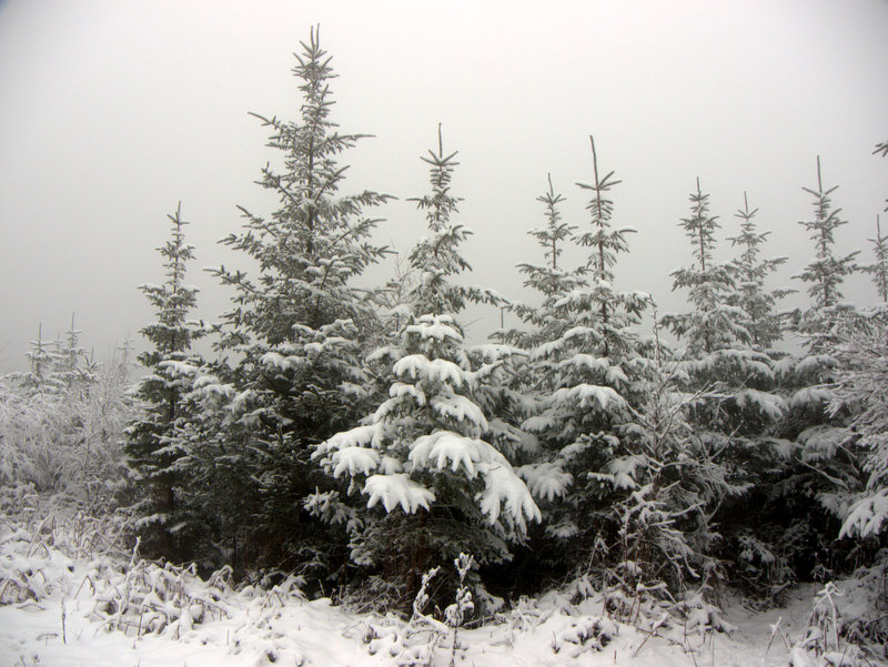 The mist behind the snow covered  Christmas trees enhances the image. Snow on Mamhead- Haldon Hill The mist has helped to create these pictures by hiding the details in the background. A winter wonderland as snow outlines every branch in the forest