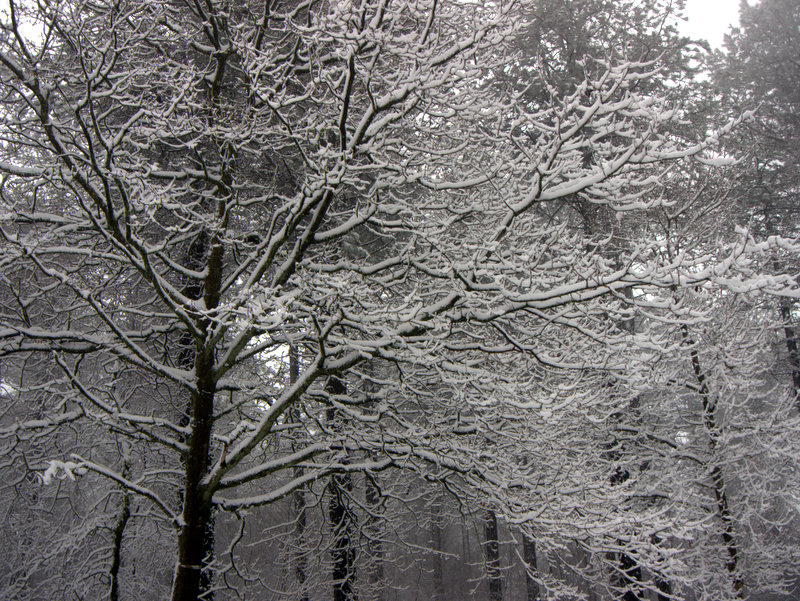 Snow on Mamhead- Haldon Hill Now my wife's turn with the camera to see what catches her eye. A winter wonderland as snow outlines every branch in the forest