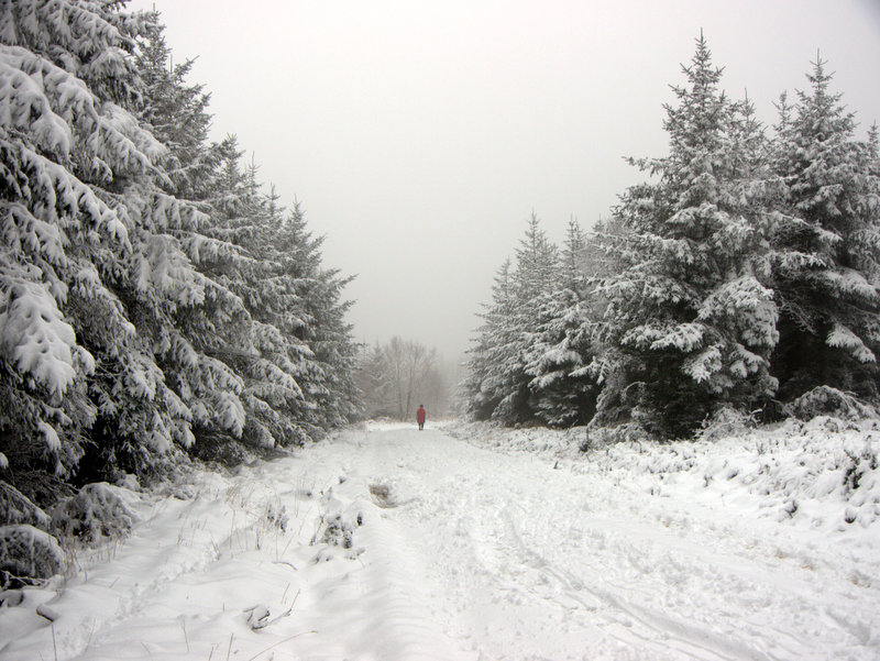 Red clas figure in the misty distance. Snow on Mamhead- Haldon Hill Spruce trees line both side of the path. Looking more like the northern forests than south Devon. A winter wonderland as snow outlines every branch in the forest