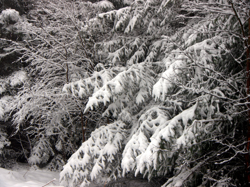 Snow on Mamhead- Haldon Hill A winter wonderland as snow outlines every branch in the forest