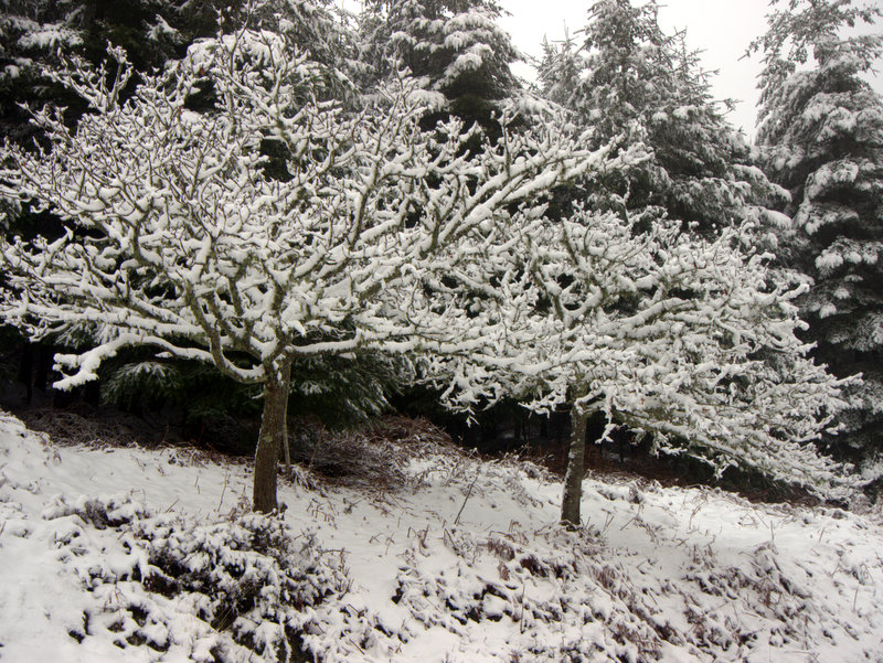 Contrasting shapes of oak and fir trees in the snow. Snow on Mamhead- Haldon Hill A winter wonderland as snow outlines every branch in the forest