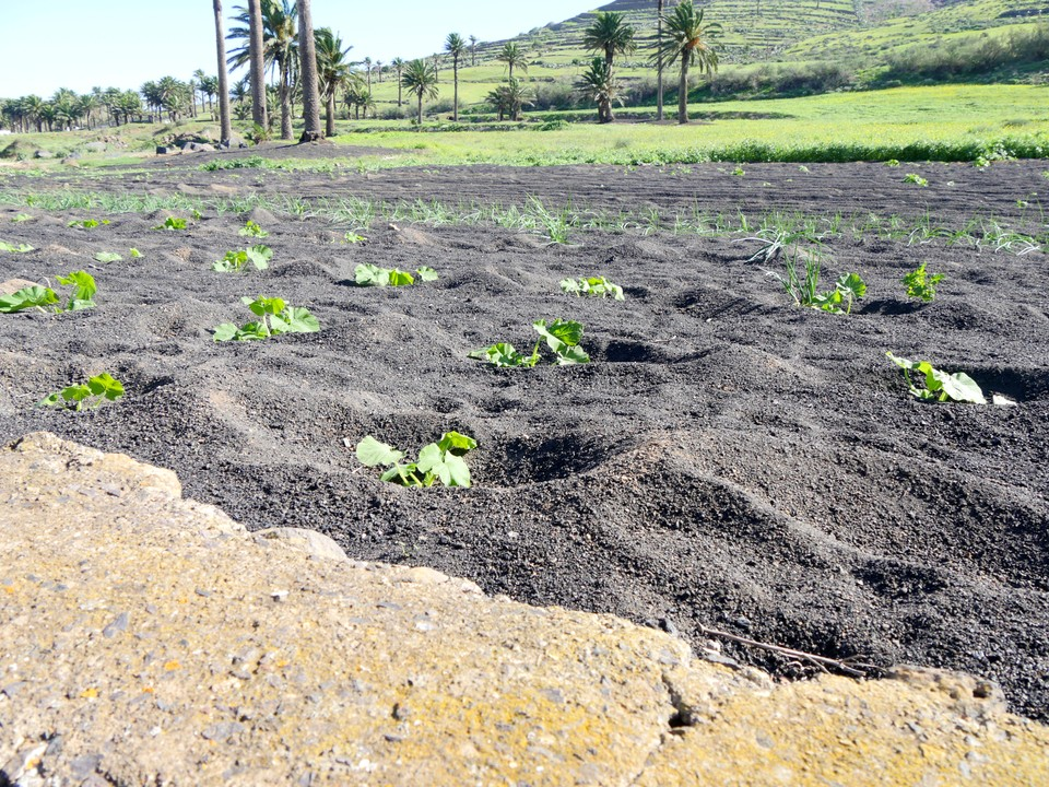 Plants grown  in pits in a mulch of gravel to conserve moisture