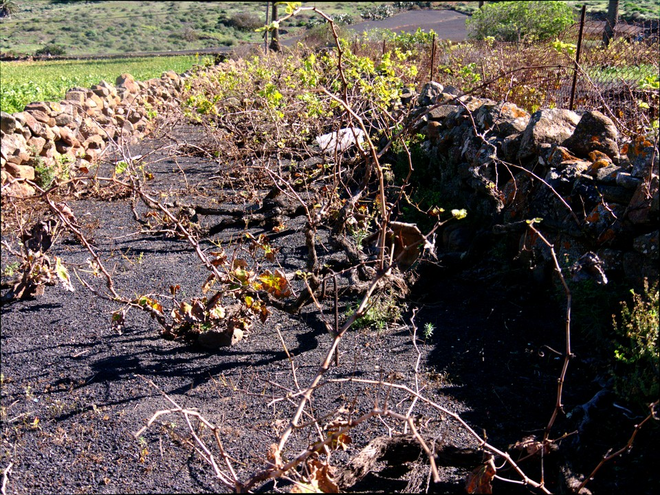 Grapevines, also growing in a stone mulch